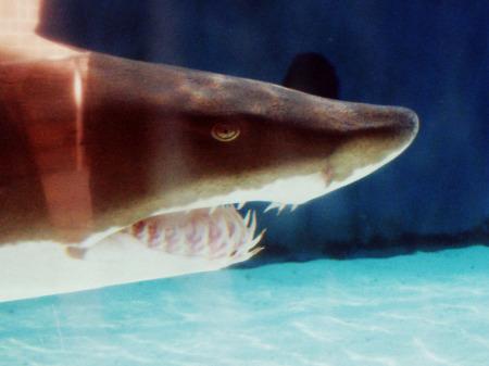 Copy of Shark