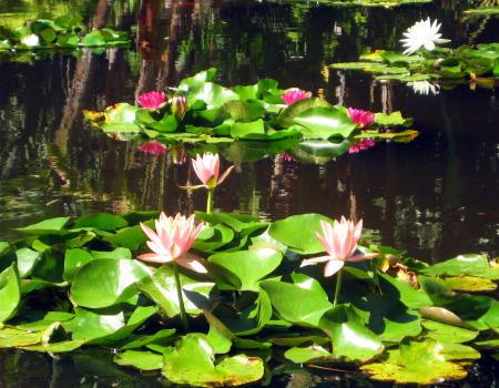 Copy of Lily Pond