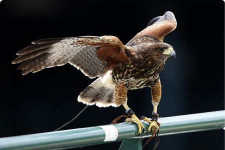 Wimbledon Hawk aeltc