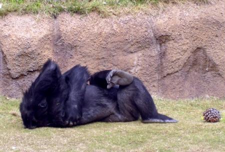 Copy of Gorilla 2
