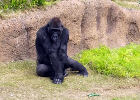 Copy of Gorilla 5