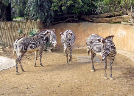 01 Zebra's