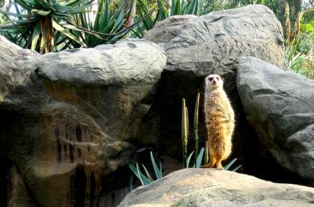 02 Meerkat