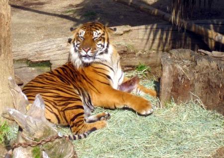 06 Tiger