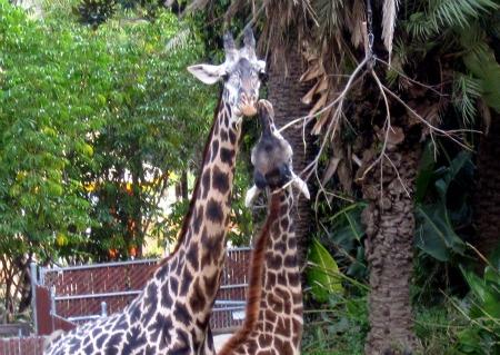 11 Giraffe's