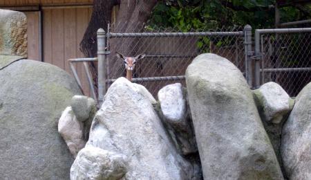12 Gerenuk Peeking