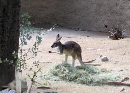 13 Kangaroo