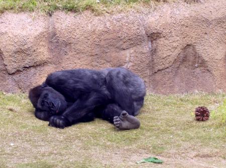 15 Gorilla 1