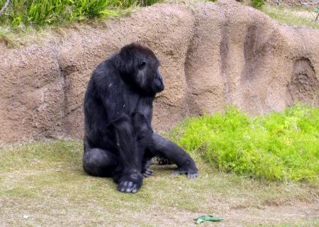 Copy of Gorilla 4