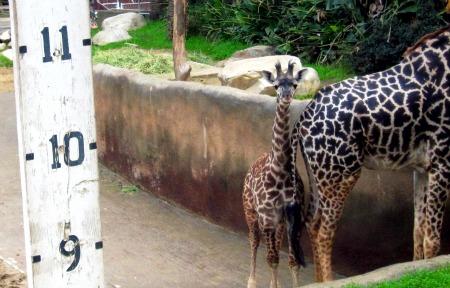 05 Giraffe Baby