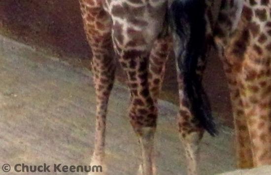 Copy of Giraffe Baby 3