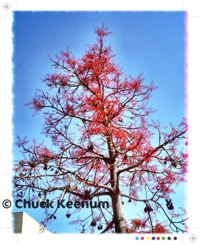 Red Tree in WeHo - Lens Angeles