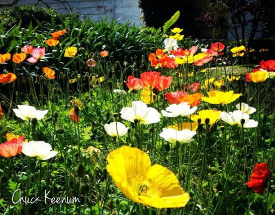 Poppies - Lens Angeles